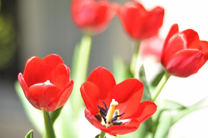 B-day Tulips