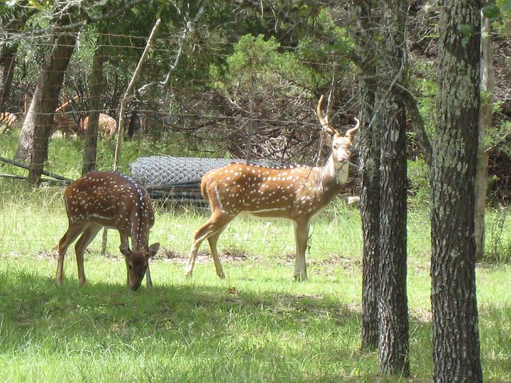 Axis Deer 2007